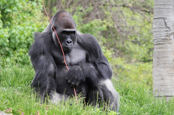 A gorilla at Cincinnati Zoo